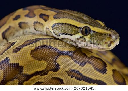 African rock python (Python sebae)  - stock photo
