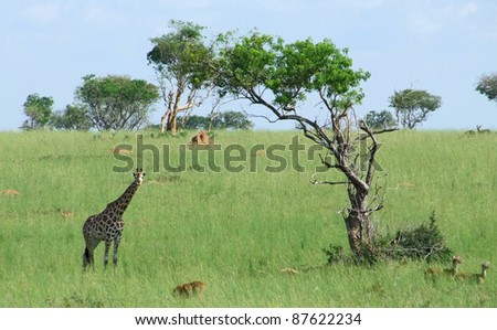 african savannah scenery including a Rothschild Giraffe in Uganda (Africa) - stock photo