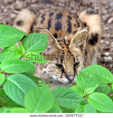 African serval - stock photo