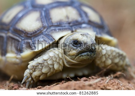 African Spurred Tortoise (Geochelone sulcata) - stock photo