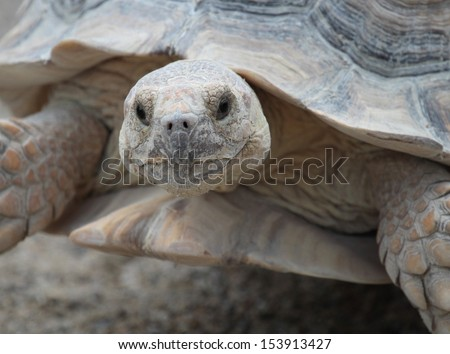 African spurred tortoise (geochelone sulcata), also called spur thigh, portrait - stock photo