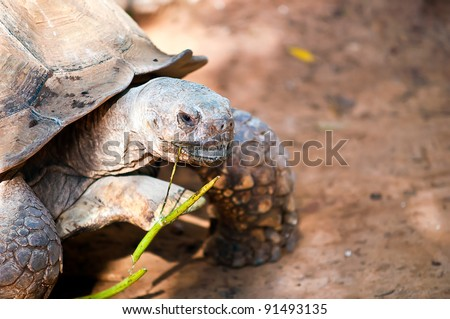 African spurred tortoise (Geochelone sulcata), also called the African spur thigh tortoise  or the sulcata tortoise, is a species of tortoise which inhabits the southern edge of the Sahara desert . - stock photo