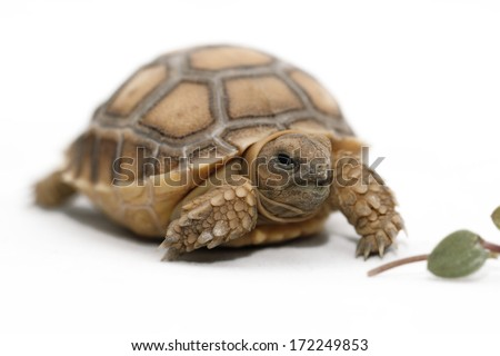 African Spurred Tortoise (Geochelone sulcata) isolated on white background - stock photo