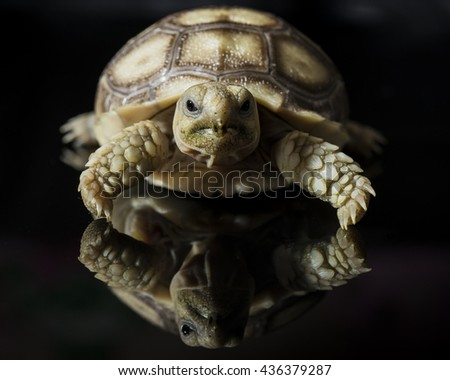 african spurred tortoise or geochelone sulcata isolated on black background - stock photo
