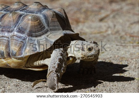 African spurred tortoise sprinting on the desert floor in southern California. - stock photo