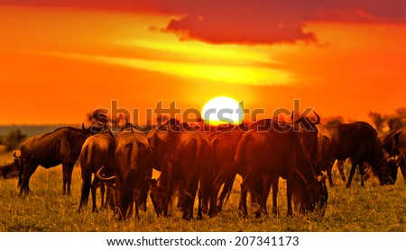 African sunset with Blue Wildebeests - Maasai Mara National Park in Kenya, Africa - stock photo