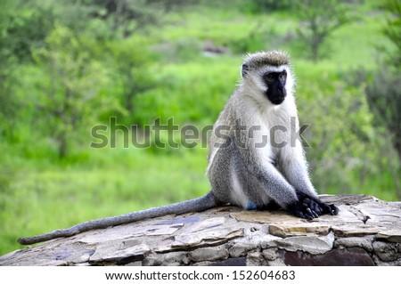 African Vervet Monkey - stock photo