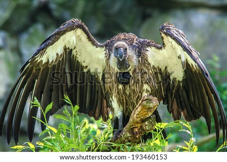 African White-backed Vulture  (Gyps africanus) - stock photo
