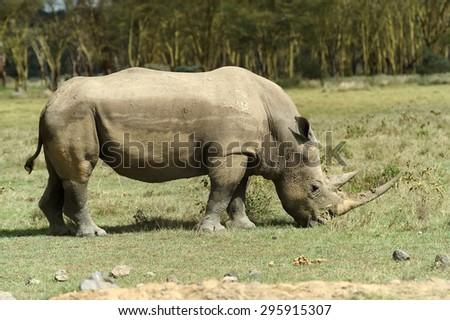 African White Rhino, Lake Nakuru, National park of Kenya - stock photo
