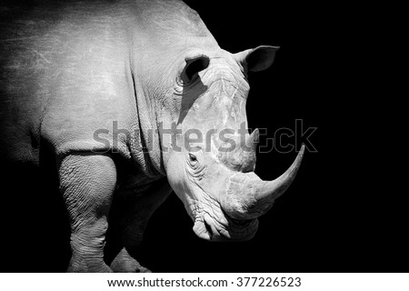 African white rhino on dark background. Black and white image - stock photo