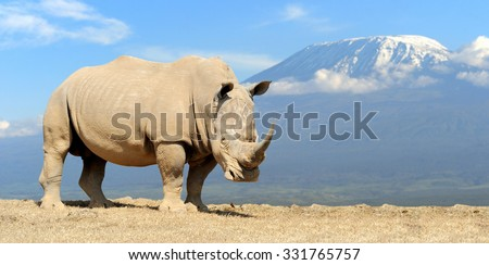 African white rhino on Kilimanjaro mount background, National park of Kenya - stock photo