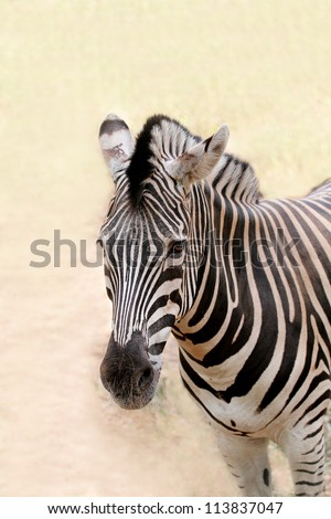 African wild animal zebra's face closeup showing distinctive stripes in black and white. This mammal is closely related to horse the stripe patterns are unique to each zebra - stock photo