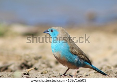 African Wild Birds - Blue Waxbill - A fantastic shot of perfect color as this little powder blue bird poses for a photograph in its natural surroundings. - stock photo
