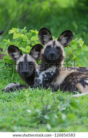 African wild dog - stock photo
