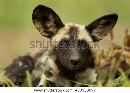 African wild dog - stock photo
