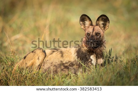 African Wild Dog after feeding in the Khwai reserve in Botswana - stock photo