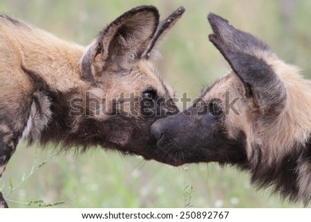 African wild dog (Lycaon pictus) - stock photo