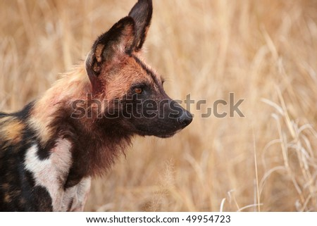 African Wild Dog (Lycaon pictus), highly endangered species of Africa - stock photo