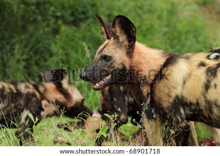 African wild dog pack with kill - stock photo