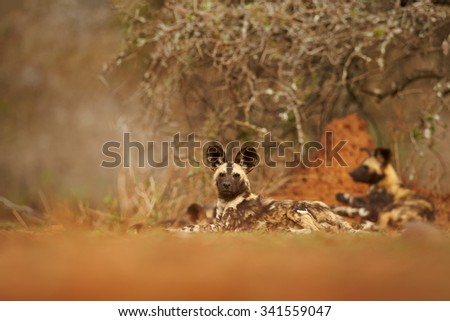 African Wild Dogs resting after the hunt, very low angle view, orange termite hill in background,soft and colorful light - stock photo