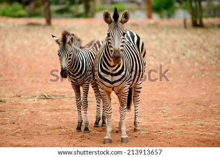African Zebra Baby and Mother face looking to camera - stock photo