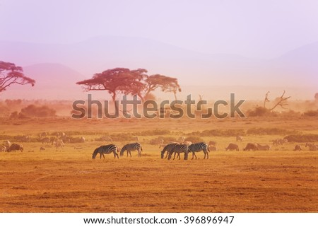 African zebras on grassland, Kenyan National park - stock photo