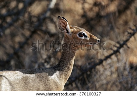 Afrikanskfy Dik-dik wild goat in its natural habitat . Kenya . - stock photo
