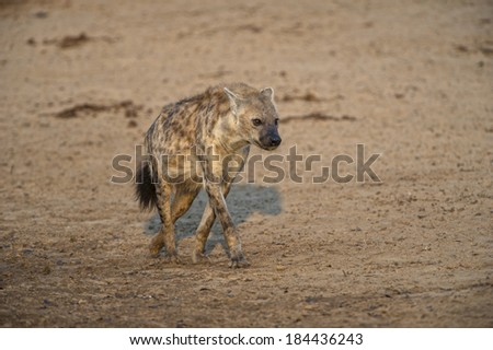 After a night hunting a male Hyena arrives to have a drink - stock photo
