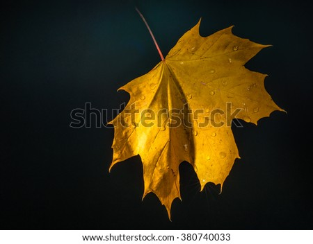 After a small rain on maple yellow sheet remained large drops. - stock photo