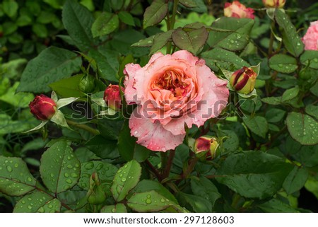 After the rain recently bloomed pink rose and new buds on the bush - stock photo