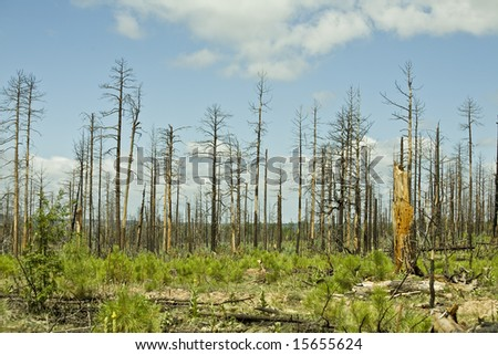 Aftermath of the Rodeo-Chediski fire (Arizona's worst forest fire) in the Apache-Sitgreaves national forest six years later. - stock photo