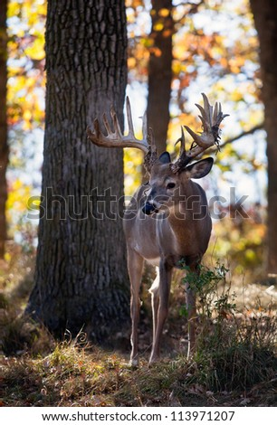 Afternoon, backlit image of a whitetail deer buck.  Shallow depth of field.  Autumn in Wisconsin - stock photo