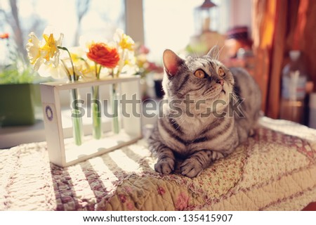 against the window with beautiful flowers is a big gray cat with yellow eyes - stock photo