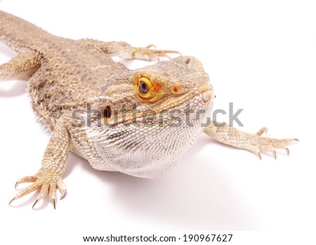 agama on a white background - stock photo