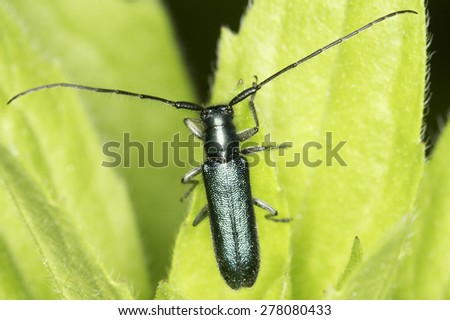 Agapanthia violacea / flat-faced longhorn beetle in natural habitat - stock photo