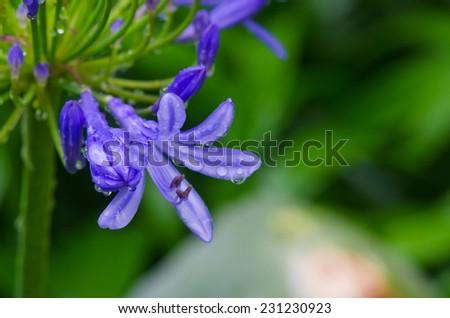 Agapanthus flower - stock photo