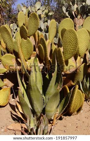 Agave and Sabra prickly pear cactus  ( Opuntia ) Boyce Thompson Arboretum State Park, Arizona  - stock photo
