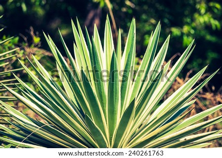 Agave by the sea in Thailand - stock photo
