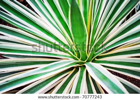 Agave leaves as pattern - stock photo