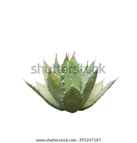 Agave, Mexico, Queen Victoria's Agave Plant, Agave titanota isolated on white background. - stock photo