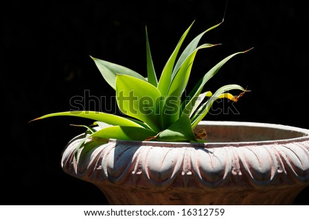 Agave succulent in planter reaching towards the sun, with a dark background. - stock photo