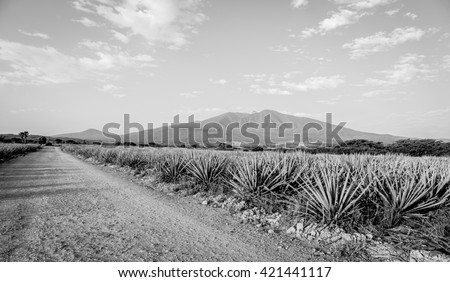 Agave tequila landscape to Guadalajara, Jalisco, Mexico. Black and white - stock photo
