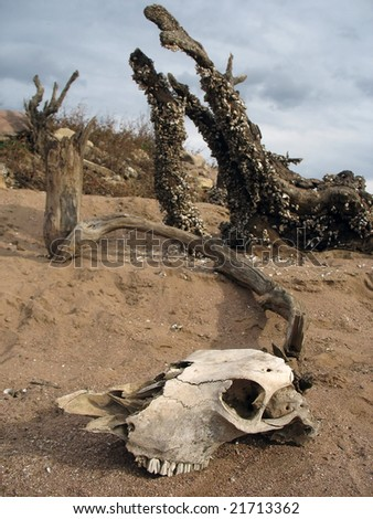 aged skull of a dead animal - stock photo