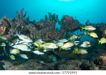 Aggregation of fish on a reef.  Picture taken in Broward County, Florida. - stock photo