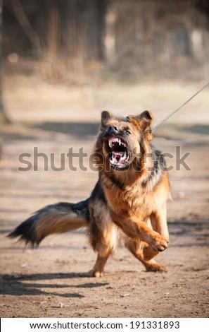 Aggressive german shepherd dog - stock photo