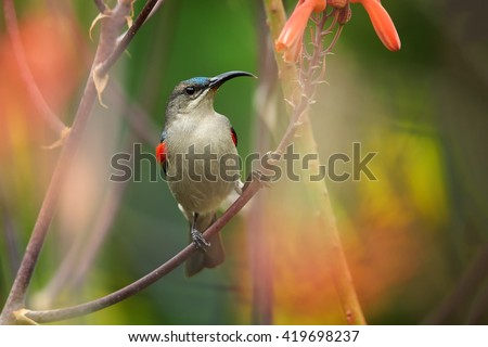 Agile, african nectar-eating bird,  Mouse-colored Sunbird, Cyanomitra veroxii, competing male showing red feathers, perched on stem among blurred red aloe flowers. KwaZulu Natal, South Africa. - stock photo