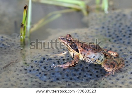 Agile frog (Rana dalmatina) on eggs - stock photo