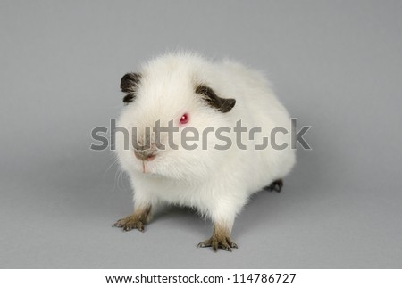 agile little Himalayan US-Teddy guinea pig - stock photo
