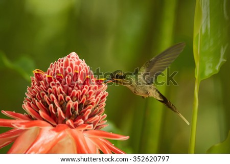 Agile longtail wild green hummingbird Green Hermit Phaethornis guy feeding from Red Torch Ginger Flower. Dark green blurry plants in background. Wild bird in the forest. - stock photo