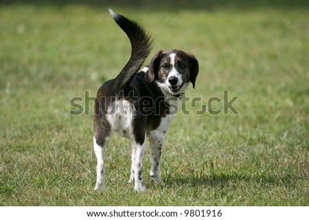Agility Dog Awaiting Commands on the Course - stock photo